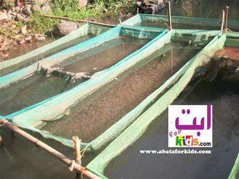 Bibit Ikan Nila Hitam jual larva nener nila merah hitam bibit nila