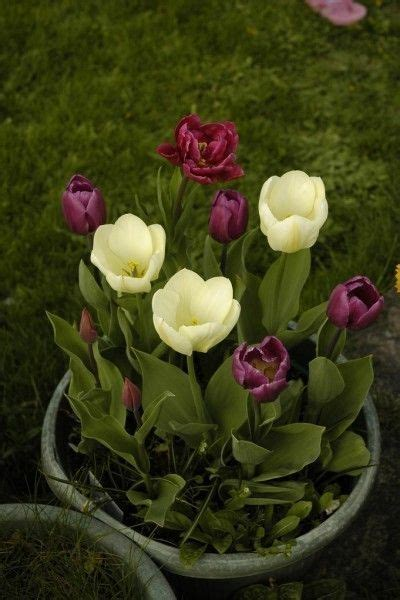 how to care for potted tulips over winter the winter