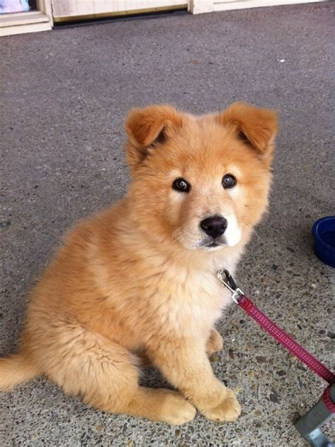 shar pei pomeranian mix 17 best images about other mixes on rottweiler mix pomeranian husky and