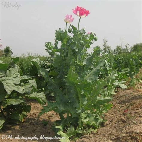 opium poppy plant flowers and seed pods nature cultural and travel photography blog