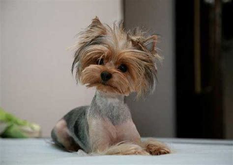yorkshire terrier haircuts pictures 10 cute yorkie puppy photos yorkiemag