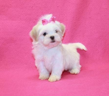 all white shih tzu puppies for sale 85 best puppies for sale images on toys teacup puppies and html