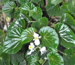 identifie begonia d interieur plante inconnue au