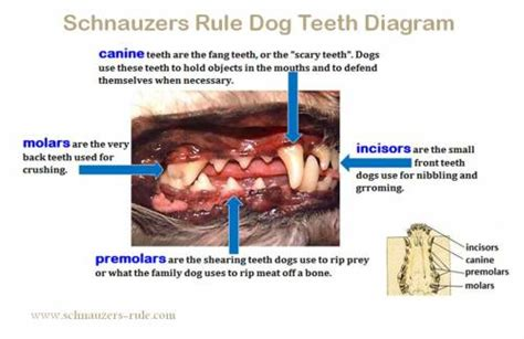 when do dogs lose puppy teeth teeth diagram problems