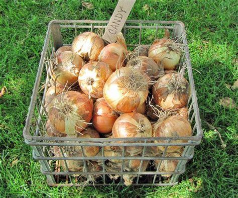 2016 onion links bely photo of garden onion allium cepa highlander do you