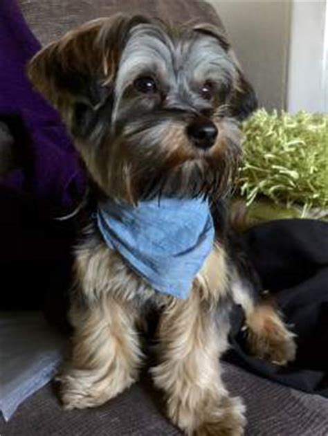 best way to house a yorkie puppy vs yorkies terrier information