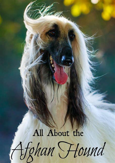 large hypoallergenic breeds afghan hound large hypoallergenic breed