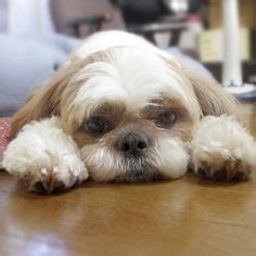 how much does a shih tzu puppy cost how much does a shih tzu puppy cost click the picture to read days
