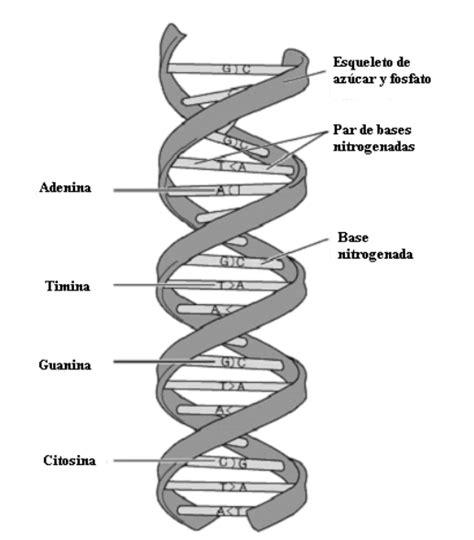 son cadenas de adn tesis de investigadores 193 cido desoxirribonucleico adn
