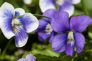 Flower Of Texas State - violet state symbols usa