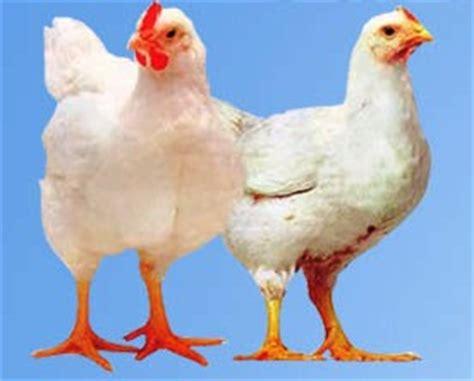 Bibit Ayam Potong Hari Ini budidaya ayam potong broiler sniperoze