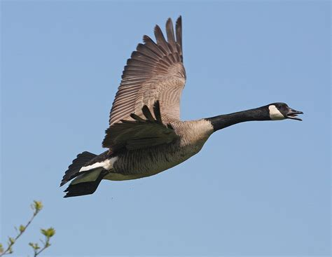 images of geese flying geese images canada geese flyways us images