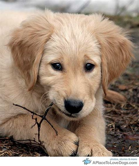 how much should a golden retriever eat how much to feed a 15 week golden retriever puppy wiring diagrams wiring diagram