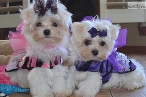 maltese puppies for sale dallas maltese puppy for sale near dallas fort worth 649dcea6 4f01
