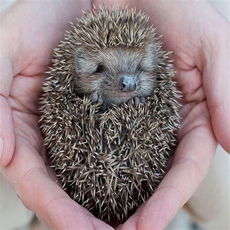 i pet a pet hedgehog