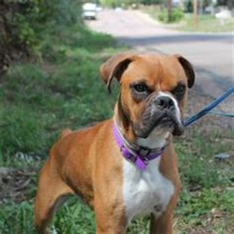 boxer puppies denver flashy fawn boxers on boxer dogs boxers and 1 year olds