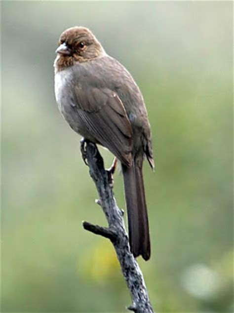 dan tallman s bird blog california towhee