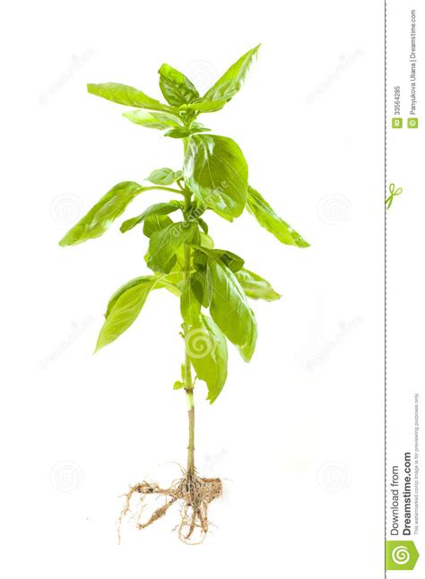 Basilikum Steckbrief by Basil Plant With Roots Royalty Free Stock Photo Image