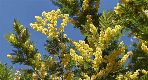 immagini mimosa fiore perch 232 per la festa della donna si regalano mimose