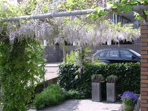 witte thee tuinen blauwe regen pergola achtertuin hoeven pergola met