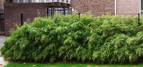 Taille Bambou Fargesia by Fargesia Rufa Taille Pivoine Etc