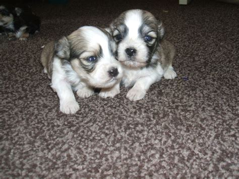 3 Beutifull Ky Leo Puppies For Sale Doncaster South
