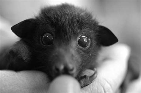 cute baby flying fox bat fruit bat look at how cute this little guy is