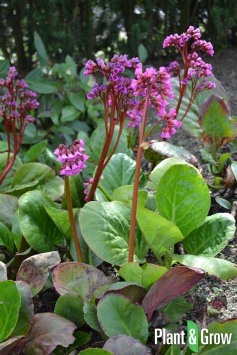 bergenia cordifolia kopen plant grow
