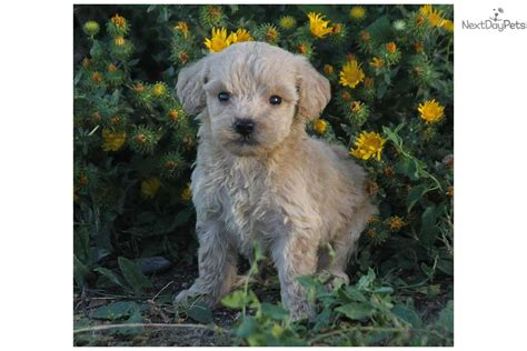 f1b mini goldendoodle puppies for sale f1b mini goldendoodles for sale mini f1b goldendoodle for sale in rapid city