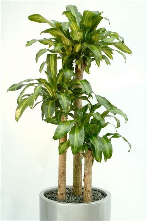 good indoor plants for low light execuflora six low light plants for your office