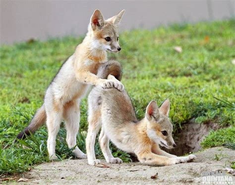 one fox one glimpse of these baby kit foxes and you ll be hooked