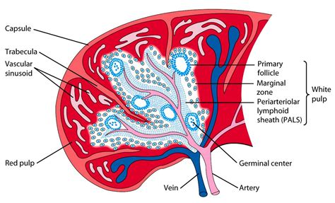 diagram of spleen spleen