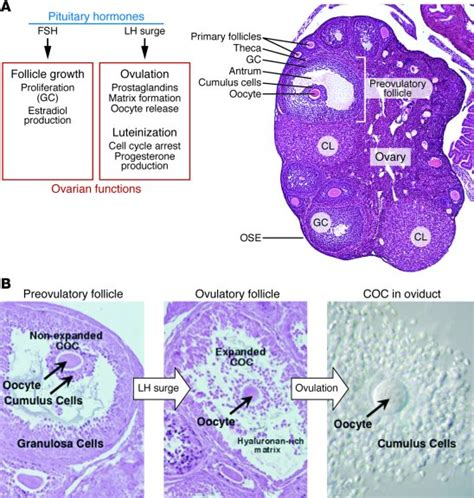 section of ovary jci the ovary basic biology and clinical implications