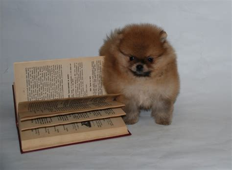 puppy pers pers pomeranian puppy for sale puppy