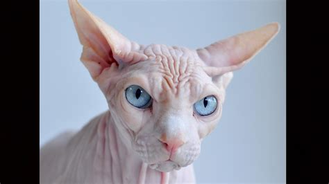 Hairless Cat Meme - welcome to memespp com