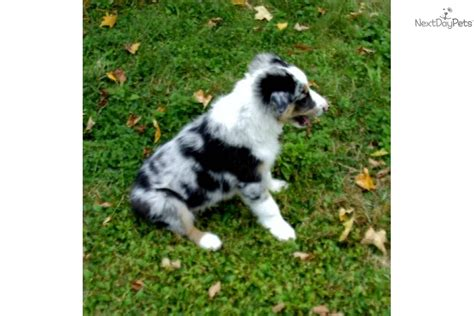 collie puppies for sale near me border collie puppy for sale near 1c862e95 30d1