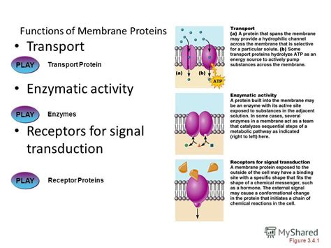 6 protein functions презентация на тему quot cell theory the cell is the basic