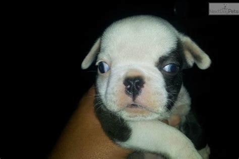 shorty puppies for sale shorty bull puppy for sale near san francisco bay area california 507e0f7b 6f91