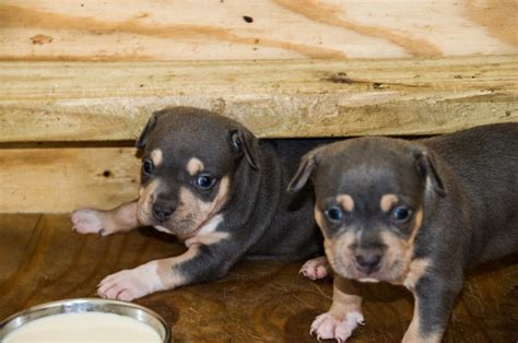 pitbull puppies for sale xl blue american pitbull puppies for sale in florida