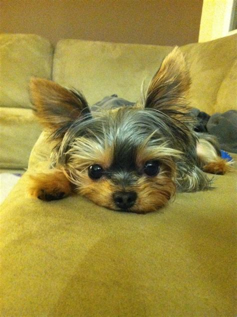 the cutest yorkie in the world cutest yorkie animal colection