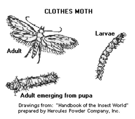 Moths In The Closet by How To Get Rid Of Clothes Moths Live A Better