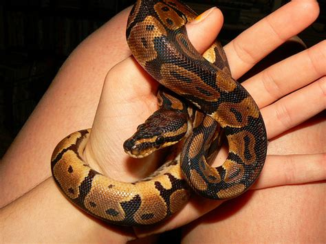 pet snakes what to know before getting one fun animals wiki videos pictures stories