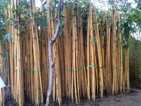 Jual Bibit Bambu Pagar jual jual pohon bambu jepang dan bambu kuning murah
