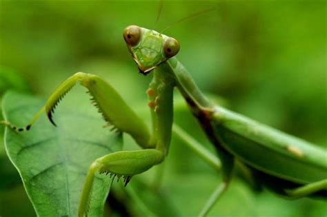 10 most beneficial garden insects you should avoid killing - Praying Mantis For Garden Pest