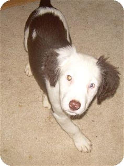 golden retriever springer spaniel mix springer spaniel golden retriever mix puppy for adoption in salem oregon