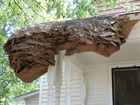 massive yellow jacket nests appearing southeast agnet
