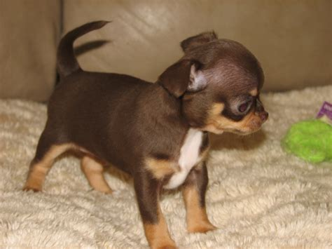 chocolate chihuahua puppies smiley x will chocolate and smoothcoat chihuahua puppy lineals