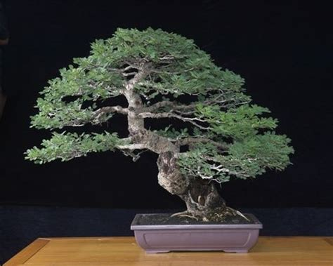 Bonsai Sancang 20 40cm 白皮金合歡acacia leucophloea 高級樂器用木 羅漢門園藝 癒創木 巴西玫瑰木 黃花梨 降香黃檀