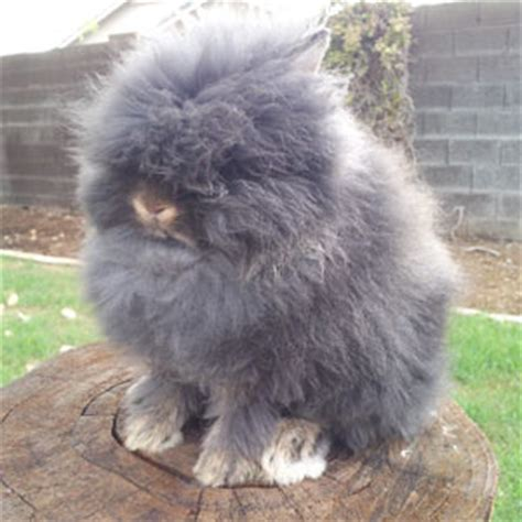 can rabbits see color lionhead rabbit colors and varieties agouti