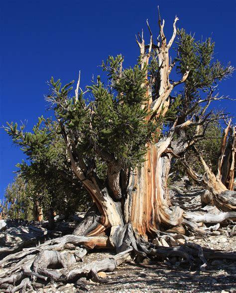 bristlecone pine tree california mystic pinus longaeva
